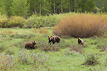 Grizzly No. 399 with her cubs in a meadow in Grand Teton National Park, WY