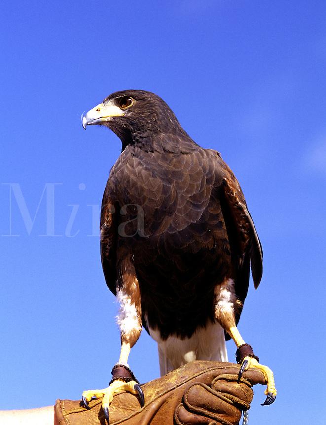 Harris Hawk at the Arizona-Sonora Desert Museum