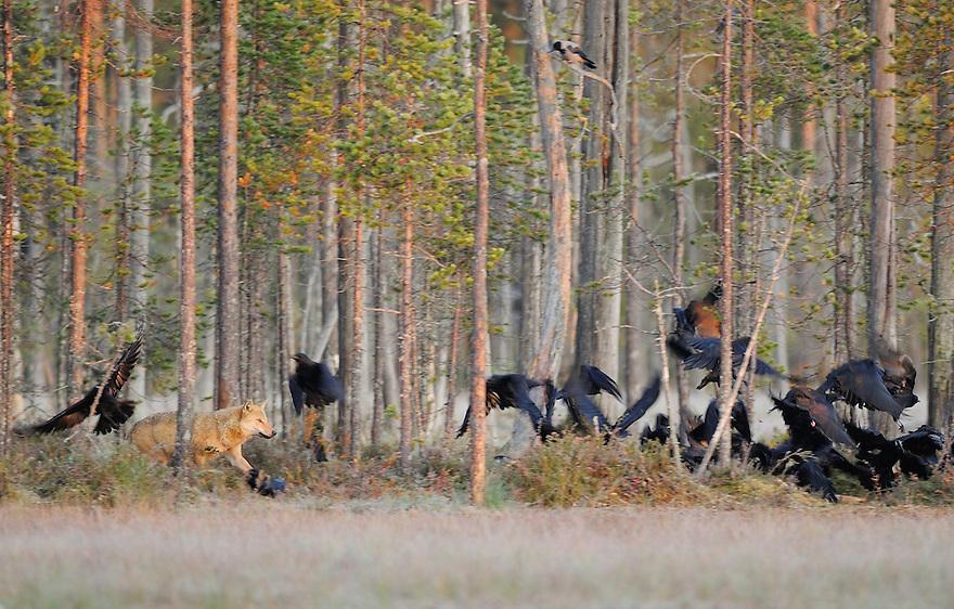 Female Eurasian wolf (Canis lupus), springing onto the scene and scattering the ravens (Corvus corax), Kuikka, Kuhmo, Finland