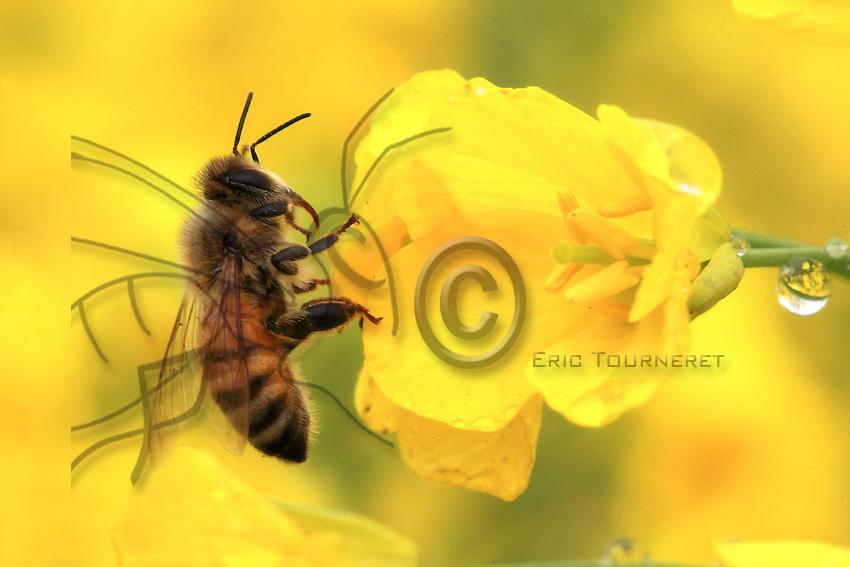 Une abeille sur une fleur de colza.///A bee on a rape flower.
