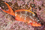 Sea of Cortez, Baja California, Mexico; a  Pacific Creolefish (Paranthias colonus) resting in a crevice on the rocky reef at night
