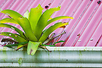 A Giant Parrotsnake (Leptophis ahaetulla) searching for Red-eyed Treefrog eggs that are on the rain gutter below the bromeliad, Bocas del Toro, Colon Island, Panama