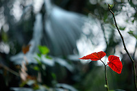 Tropical Rainforest Glasshouse (formerly Le Jardin d'Hiver or Winter Gardens), 1936, René Berger, Jardin des Plantes, Museum National d'Histoire Naturelle, Paris, France. Detail of Begonia Angularis leaves against a background of diffused light filtering through the glasshouse.