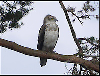 BNPS.co.uk (01202 558833)<br /> Pic: RogerStarbuck/BNPS<br /> <br /> ****Please use full byline****<br /> <br /> Hundreds of bird watchers have flocked to a nature reserve in Dorset after a rare short-toed eagle arrived there on Saturday.<br /> <br /> About 700 people travelled to Morden Bog, near Wareham, over the weekend.<br /> <br /> It is thought to be first sighting of the species on the British mainland.<br /> <br /> The birds are common in central and southern Europe and have a wingspan of up to 6ft.<br /> <br /> Short-toed eagles migrate from Africa in the spring and can live up to 30 years.