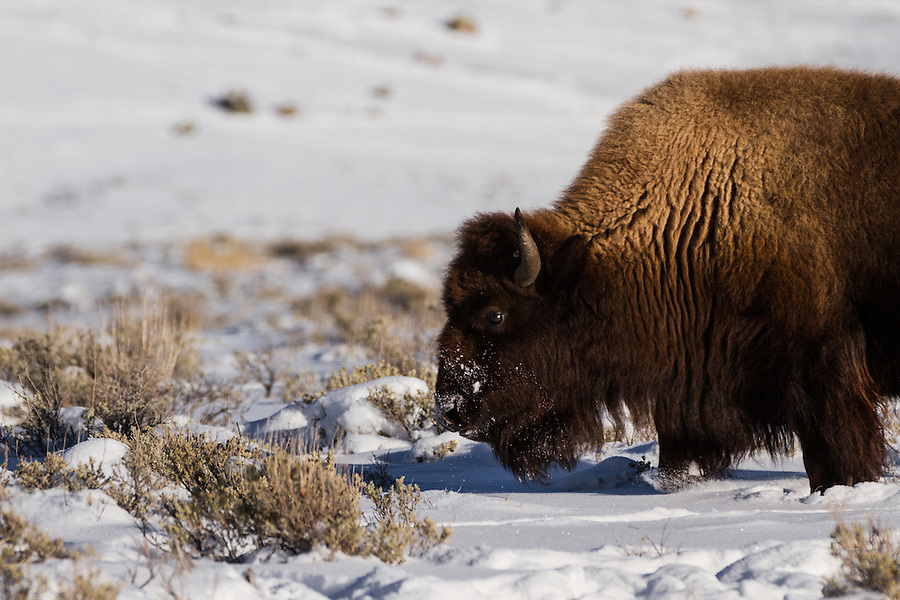 A single bison with a snow-covered face grazes among the snow-covered sagebrush in Yellowstone National Park, Wyoming.