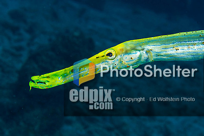 28 January 2016:  A Yellow Trumpetfish (Aulostomus maculatus) is observed on the reef at Captain Don's Habitat in Bonaire. Bonaire is known for its pioneering role in the preservation of the marine environment. A part of the Netherland Caribbean Islands, Bonaire is located off the coast of Venezuela and offers excellent scuba diving, snorkeling and windsurfing.  Mandatory Credit: Ed Wolfstein Photo *** RAW (NEF) Image File Available ***