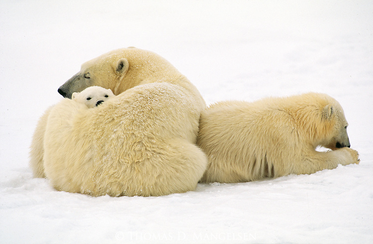 A second born polar bear cub sits in its mother's embrace, the first born cub snuggled nearby in Wapusk National Park, Manitoba, Canada.