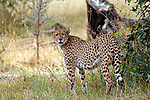 Africa, Kenya, Masai Mara. A cheetah looks back.