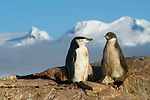 Penguin of the Day - Chinstrap