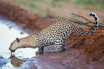 Leopard (Panthera pardus) female drinking from puddle in the road, Kgalagadi Transfrontier Park, Northern Cape, South Africa, February 2016
