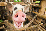 Silly wide-angle shot of a smiling pig in a traditional enclosure, Flroes, Indonesia