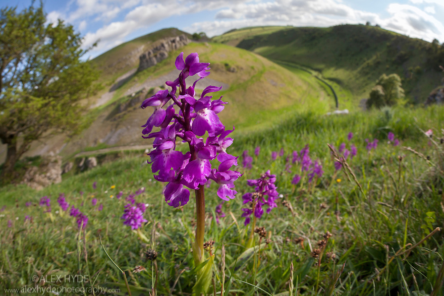 Early Purple Orchids {Orchis mascula} growing in Cressbrook Dale, Peak District National Park, Derbyshire, UK, May.