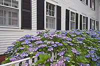 Massachusetts, Martha's Vineyard, Edgartown, House with Lacecap Hydrangea