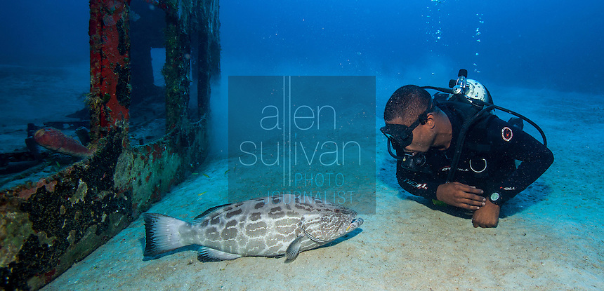 Yellowfin grouper (Mycteroperca venenosa) and scuba diver look at each other at El Águila wreck; West End, Roatan, Honduras.