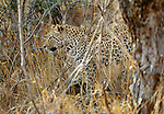 A leopard demonstrates the effectiveness of its cryptic coloration, Londolozi Private Reserve, South Africa