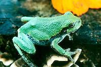 ANIMALS.Green Tree Frog.Hyla cinerea