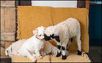 Baaa-king mad - Barry the house lamb.
