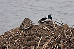 A mallard and drake sit atop a nest in a pond near Lake Nokomis in Minneapolis
