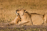 An African Lion cub plays with his mother as they rest, Duba Plains, Botswana.