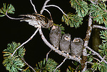 Flammulated owl feeds her young, Washington