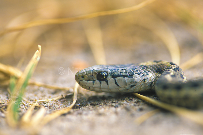 Ground level view of a Black Garter Snake in Montana