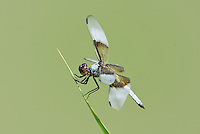 389210012 a wild male widow skimmer libellula luctosa dragonfly wild perches on a reed near el centro imperial county california united states