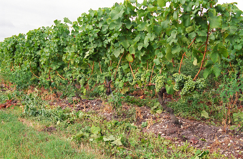 Vineyard. Leaf thinning, efeuillage, and crop thinning, green harvest, double Guyot training. Entre deux Mers. Bordeaux, France