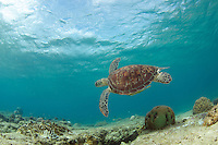 A turtle feeling right at home in the shallows of Apo Island.