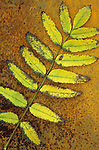 Single sprig of yellow autumn leaves of Rowan or Mountain ash or Sorbus aucuparia lying on rusty metal sheet