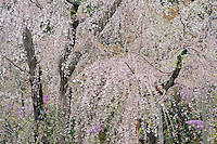 Weeping cherry blossom trees in the 14th century Zen garden at Tenryu-ji Temple, Kyoto