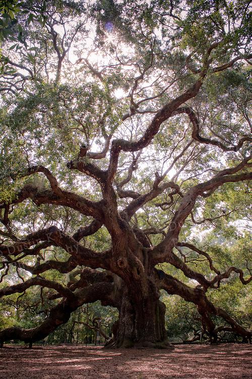 Angel Oak Tree in Johns Island South Carolina Live Oak