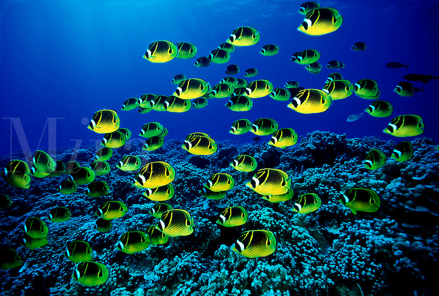 Seapicscom ocean wildlife nature pictures stock photo for Edible hawaiian fish