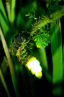 Female glow worm (Lampyris noctiluca) displaying. Dorset, UK.