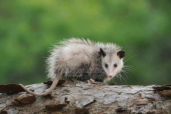 Virginia Opossum (Didelphis virginiana), young on log, Fennessey Ranch, Refugio, Coastal Bend, Texas Coast, USA