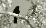 Crow in a tree, Newport Beach, CA.