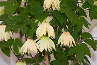 Clematis 'Amber' winner best new plant at Chelsea Flower Show 2016, yellow flowered perennial vine . RHS Plant of the Year 2016. Clematis Chiisanensis Amber, Clematis koreana
