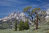 Patriarch Tree, Grand Teton National Park's famous limbar pine