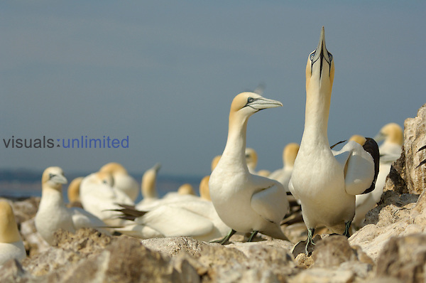 Northern Gannet sky pointing courtship display, Scotland, UK.