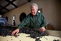Patron Gerard Becot sorting merlot grapes during harvest at Chateau Beau-Sejour Becot, St Emilion, Bordeaux, France