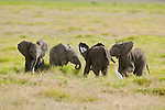 Four African elephant calves play in the soft grass of Amboseli National Park, Kenya.