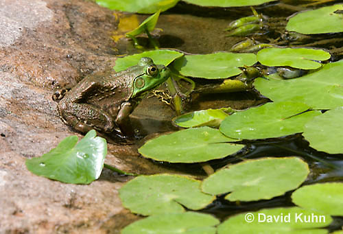 0818-1004  Camouflaged Northern Green Frog Sitting at edge of Pond, Lithobates clamitans, formerly Rana clamitans  © David Kuhn/Dwight Kuhn Photography