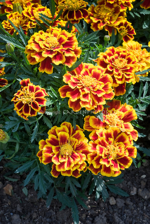 Tagetes patula Durango Bee marigold in red and orange flower color bicolor annual blooms