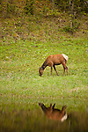 A single cow elk is reflected in a still pond as it grazes along the shoreline.
