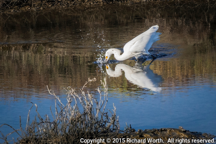 A Snowy egret and its reflection come together as it  makes a splashing strike for food and sends water drops airborne in the wetlands on the eastern shores of  San Francisco Bay.