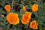 California poppies in Pescadero