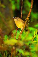 The small Kauai thrush or puaiohi, (myadestes palmeri). This rare bird is found on Kauai only.