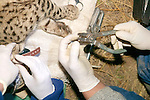 Attaching Ear Tag On Geoffroy's Cat