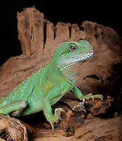 Chinese Water Dragon (Physignathus cocincinus), captive.