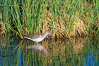 Greater Yellowlegs wades along a tundra pond in Denali National Park, Alaska