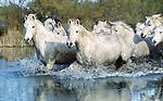 Camargue horse herd wades through slough, Ile de la Camargue, France